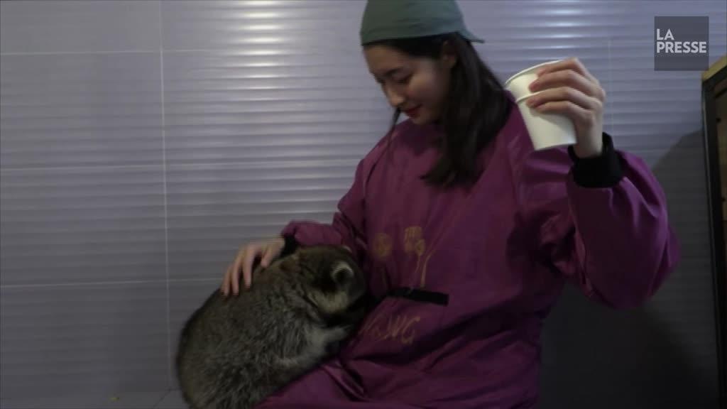 Iguane ou raton laveur?? Boom du ??café animalier?? exotique en Chine
