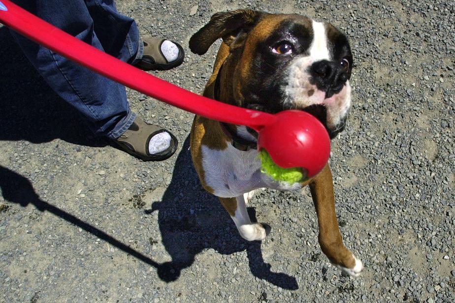 Pourquoi le chien est-il l'ami de l'homme ? À cause de son grand cœur, disent des scientifiques