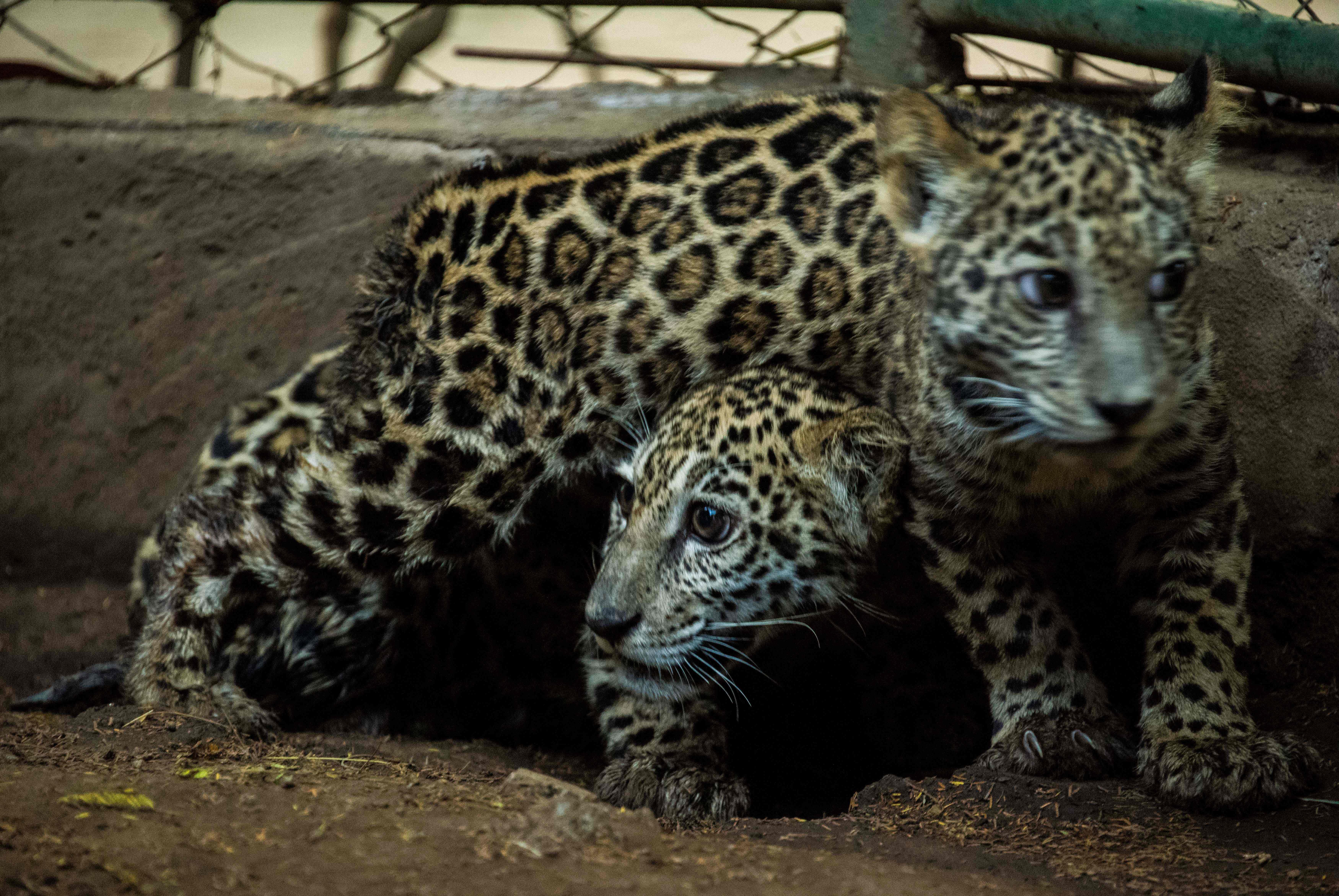 Deux bébés jaguars sauvés des mains de trafiquants grace aux réseaux sociaux